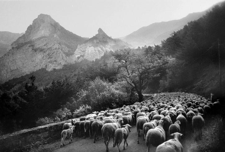 ovejas en las montañas francia