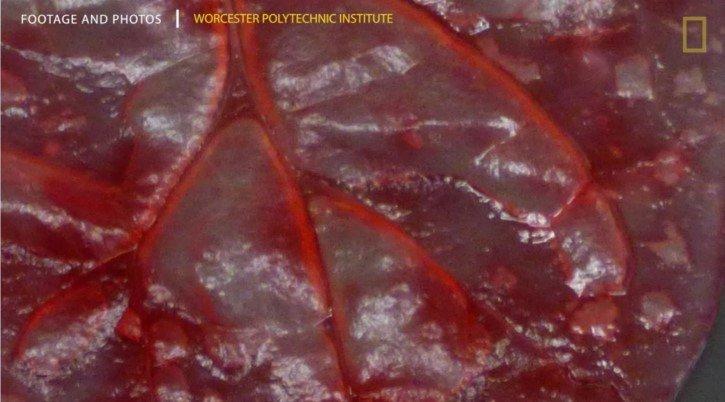 tejidos humanos hoja de espinaca