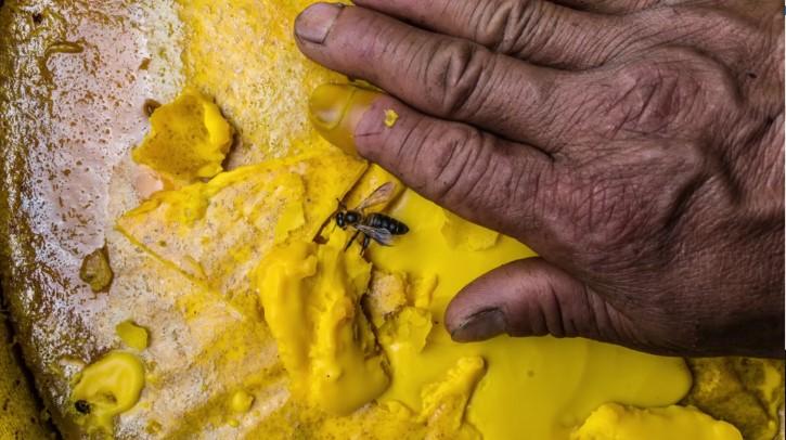abeja gigante del himalaya