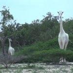 Dos jirafas blancas rarísimas filmadas en reserva de Kenia