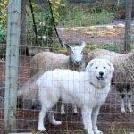 Justicia de EE.UU. ordena cortar cuerdas vocales a perros que ladran en exceso