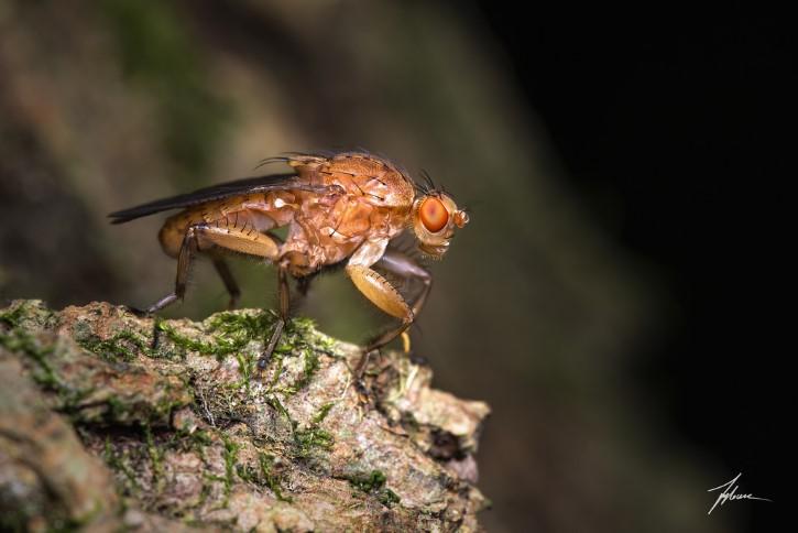 Drosophila melanogaster mosca de la fruta