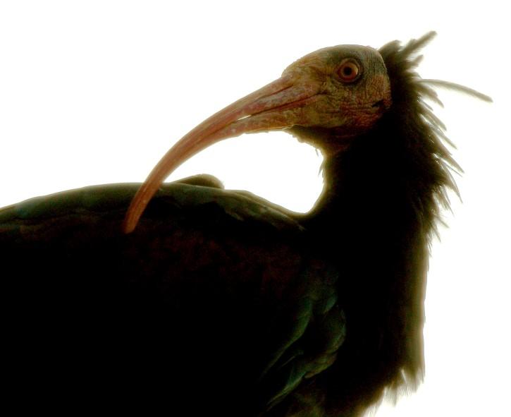 Geronticus calvus