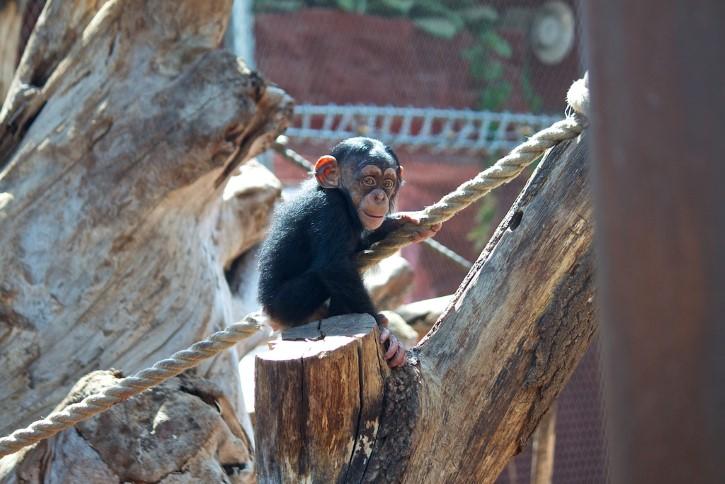 chimpance bebe