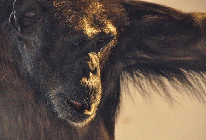 chimpance pensante