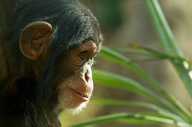 chimpance pequeño