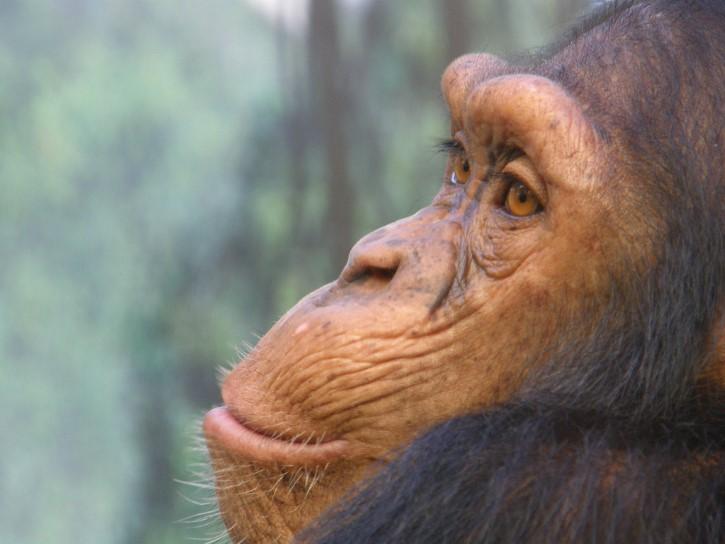 chimpance perfil