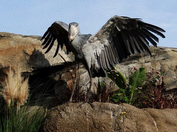 picozapato alas extendidas