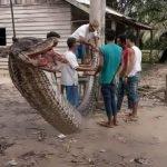 piton en sumatra indonesia gigante (2)