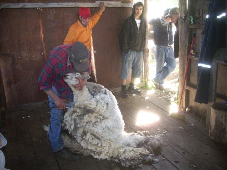 esquilando a una oveja