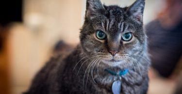gato rayado con collar