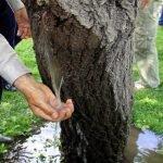 El misterioso fenómeno que hace brotar agua a raudales de los arboles