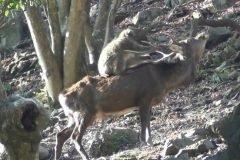macacos de cara roja apareamiento con ciervos
