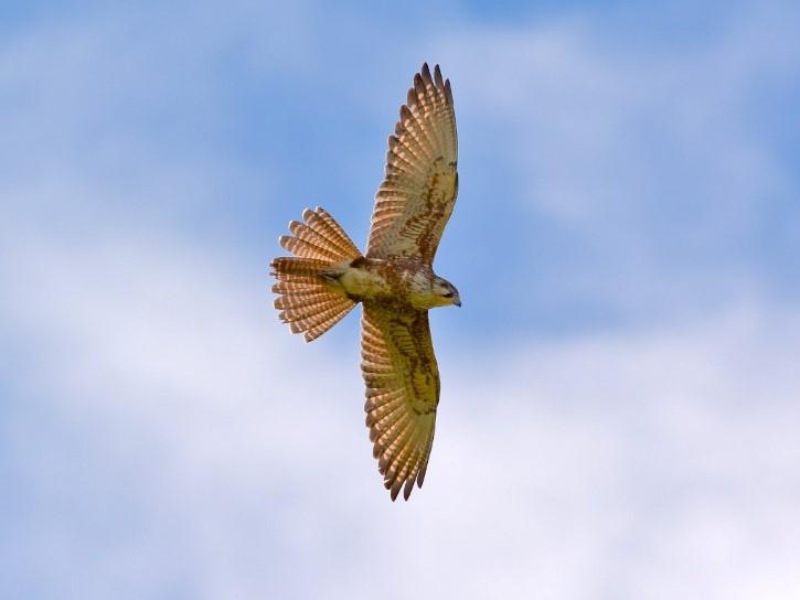 Falco berigora en vuelo