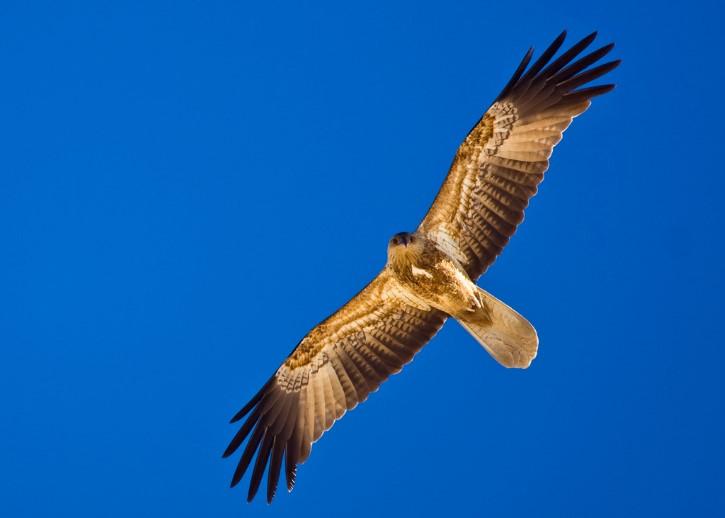 Haliastur sphenurus con alas extendidas