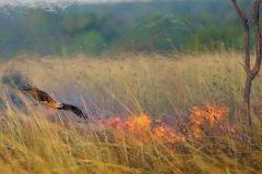 Milvus migrans entre las llamas