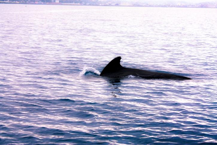 ballena solitaria nadando