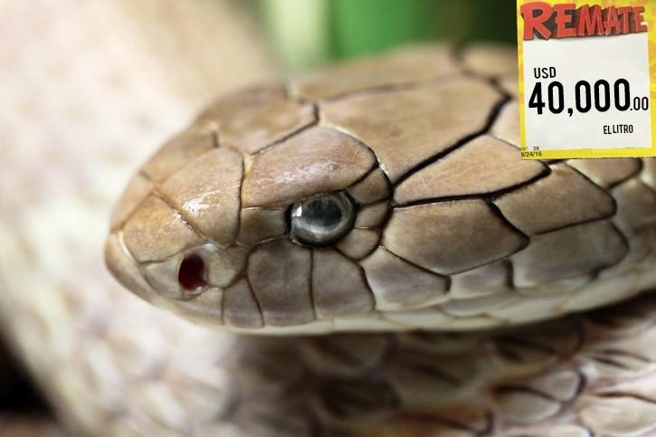 cabeza cobra real Ophiophagus hannah