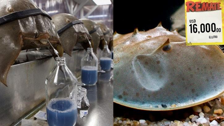 cangrejo herradura del Atlántico sangre azul