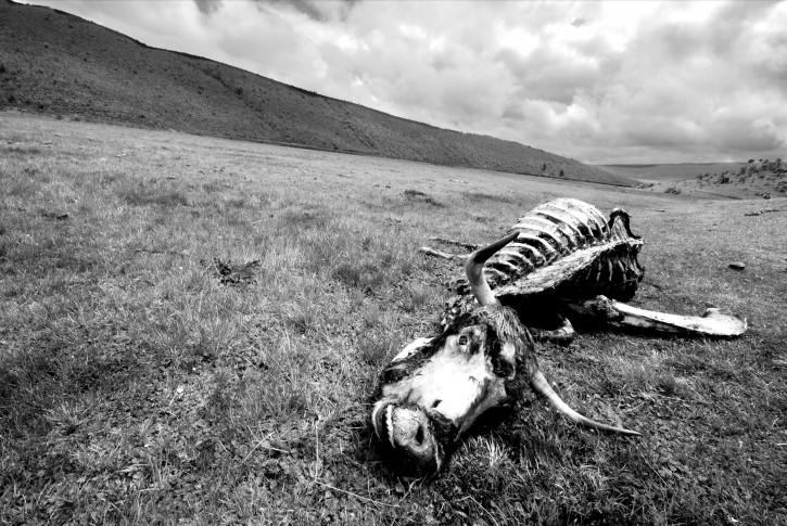 ganado muerto
