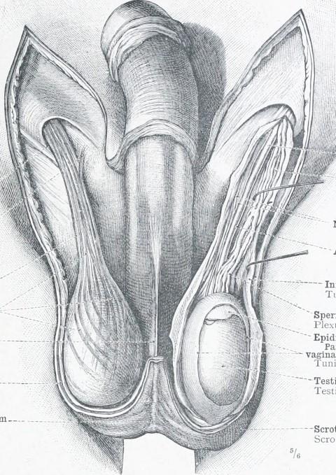 ilustracion anatomica de los testiculos