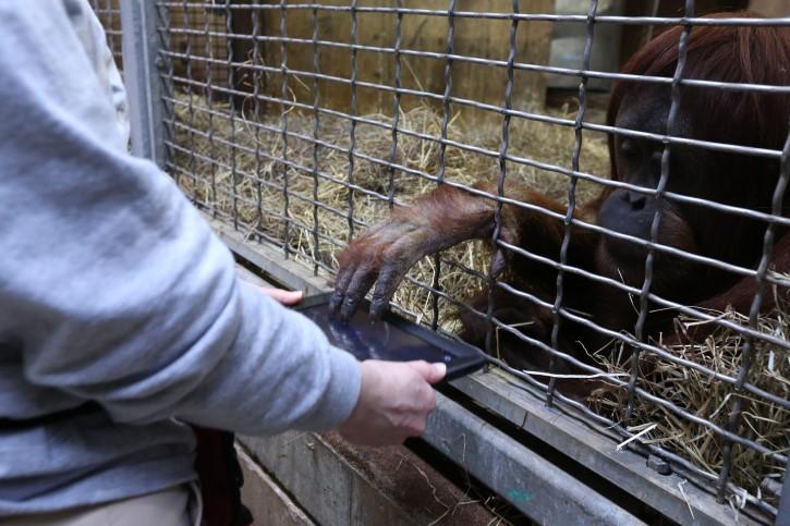orangutan manipula tabla de dibujo