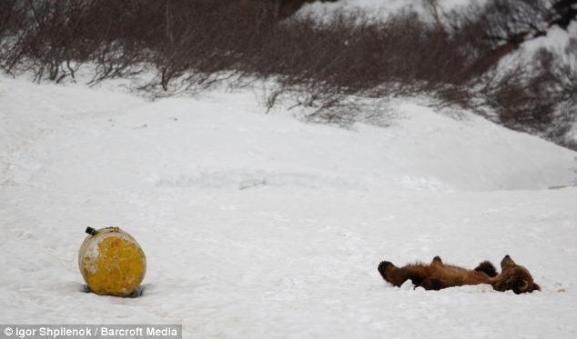 osos adictos a la gasolina en rusia