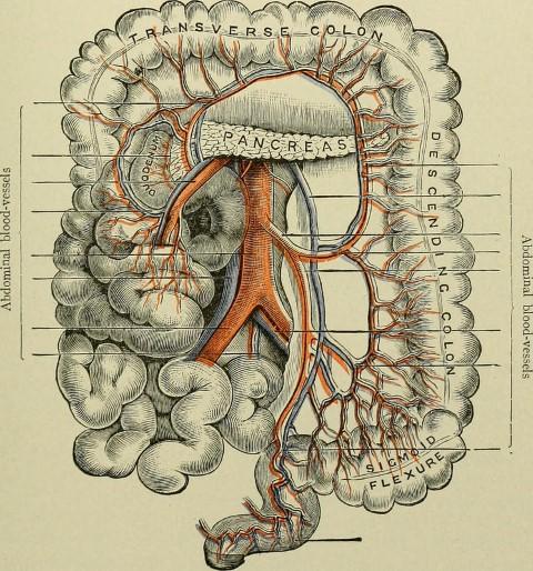 representacion anatomica del colon