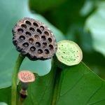 vaina con semillas de loto tripofobia