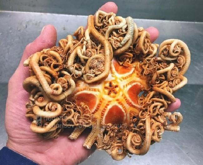 Ophiuroidea pulpo extraño