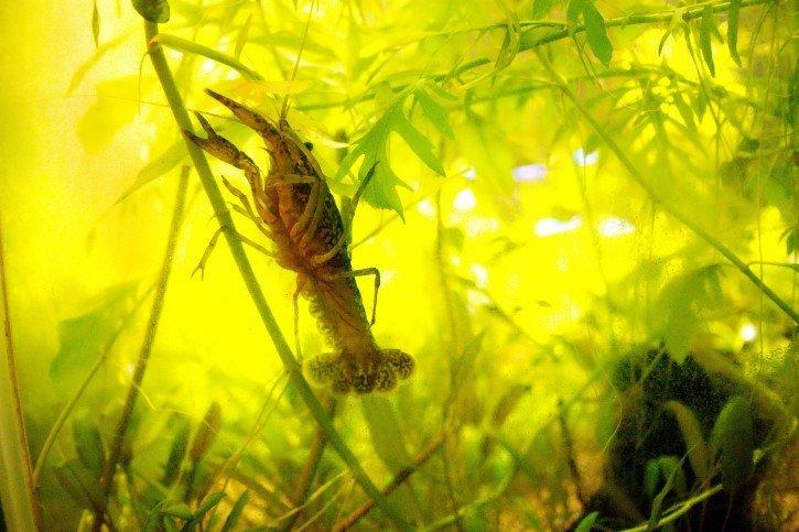 Procambarus fallax en un acuario