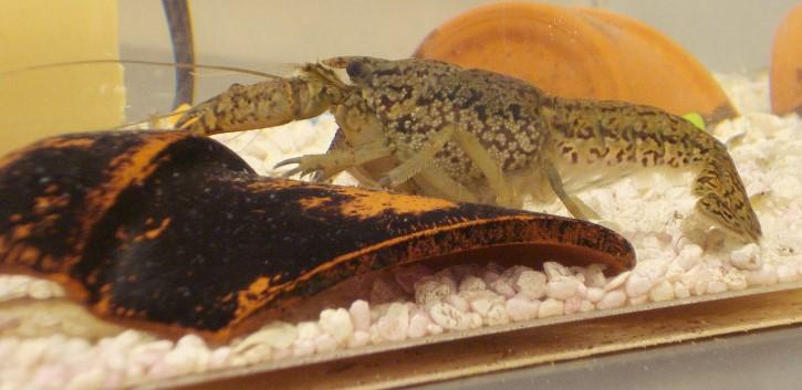 Procambarus fallax forma virginalis