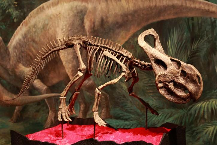 Protoceratops esqueleto