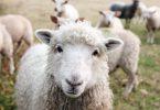 Animal oveja