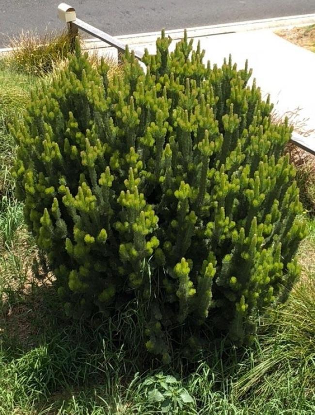 arbusto castroso