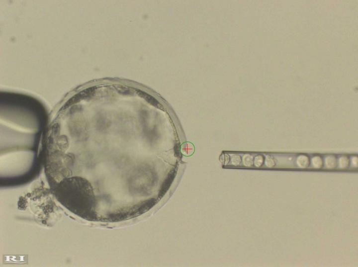 Celula humana hibrido animal
