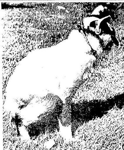 Chapman Cabbit Gato Raza Manx
