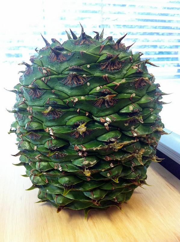 Cono de araucaria bidwillii