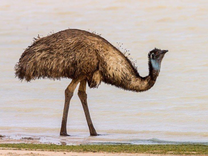 Emu bebiendo agua