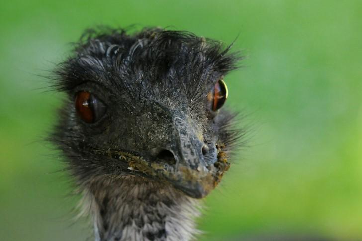 Emu cabeza