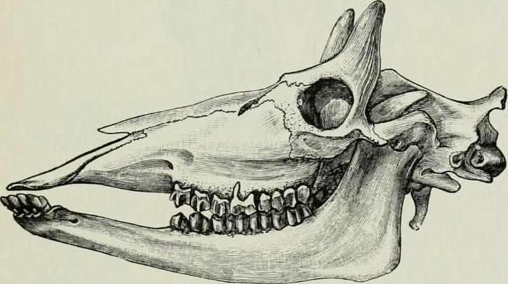 Fosil de una giraffa ilustracion