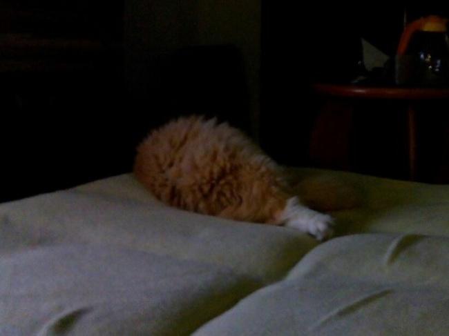 gato gordo parece piernas pollo