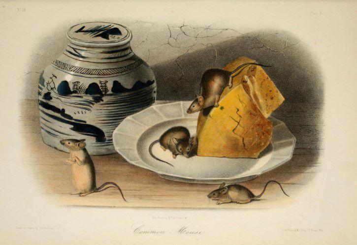 Ilustracion Ratas Comiendo Queso
