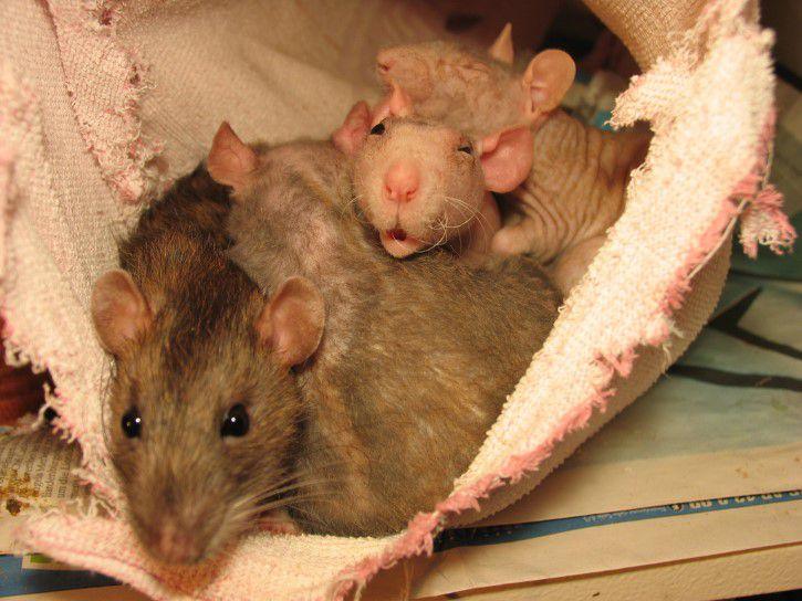 Rata Con Crias