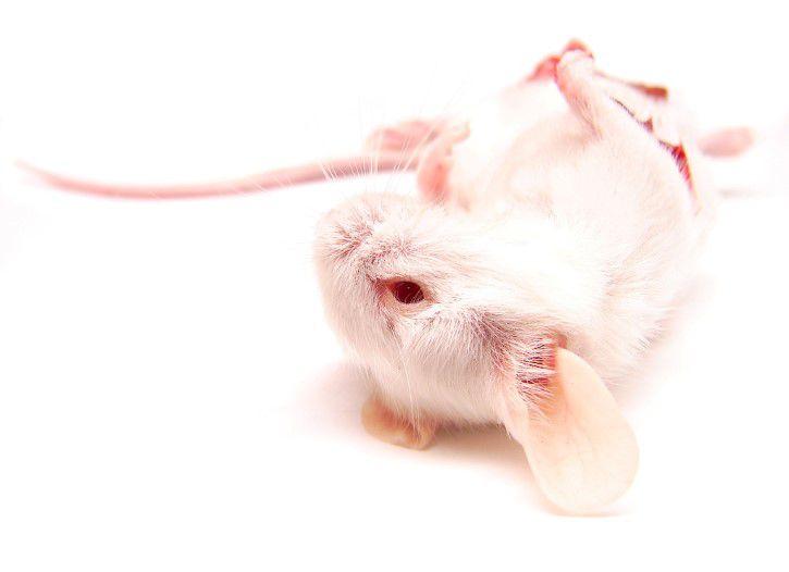 Raton De Laboratorio Muerto