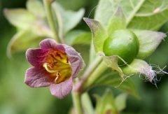Belladona: la dulce planta de la muerte