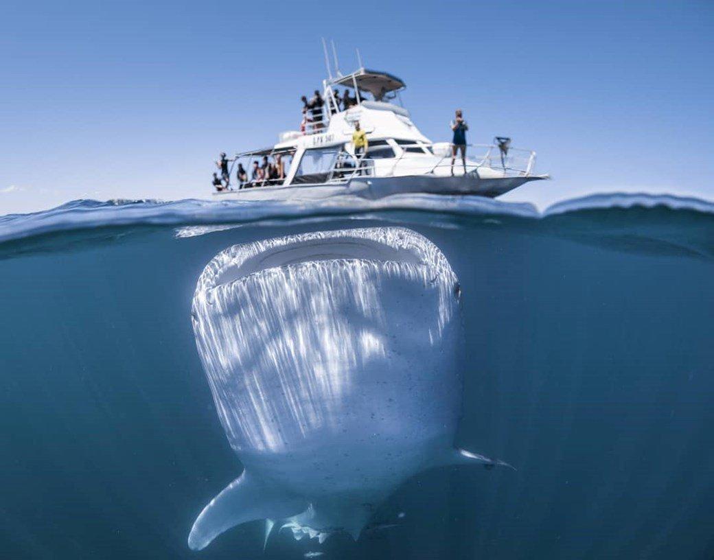 Tiburon ballena en australia