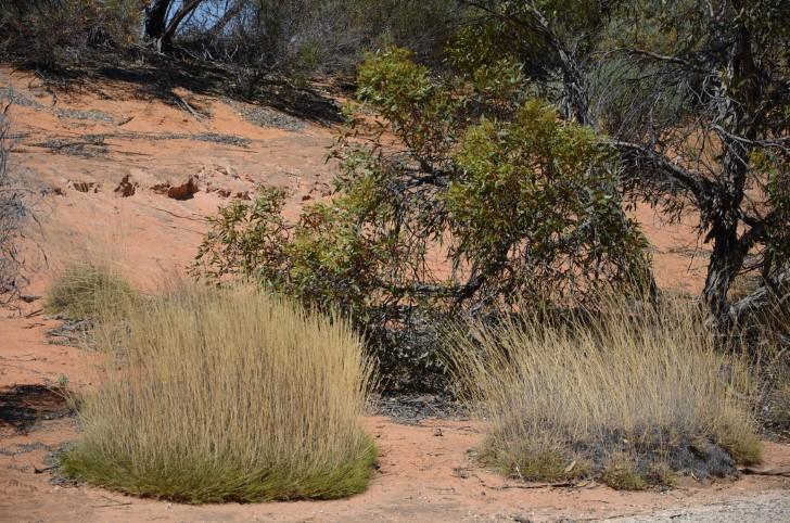 Triodia arbustos australia