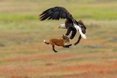 Aguila vs zorro portada