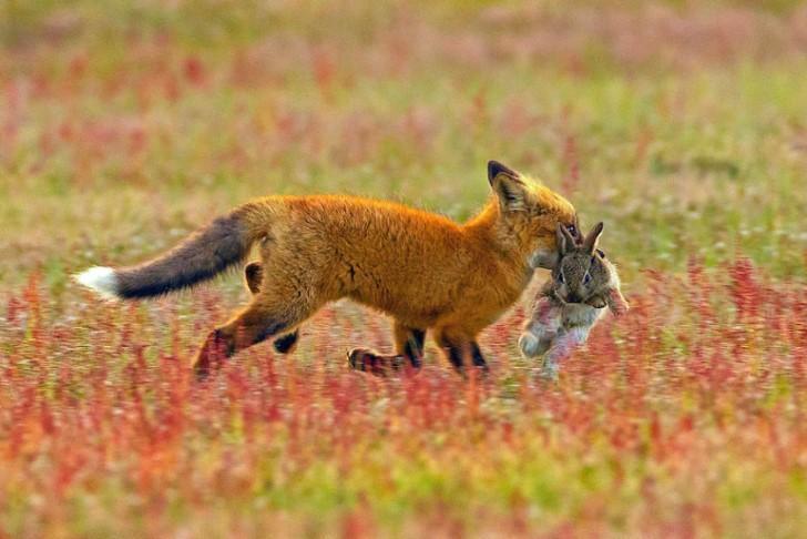 Batalla entre zorro rojo y aguila calva por un conejo (1)